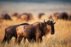 Black Wildebeest. royalty free stock image