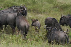 Black Wildebeest. (Connochaetes gnou Royalty Free Stock Image