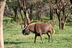Black wildebeest. African wildlife, Namibia Stock Image