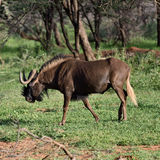 Black wildebeest. African wildlife, Namibia Royalty Free Stock Photos