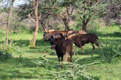 Black wildebeest. African wildlife, Namibia Royalty Free Stock Images