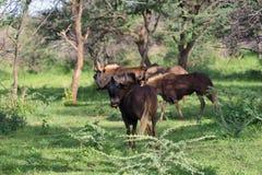 Black wildebeest. African wildlife, Namibia Royalty Free Stock Images
