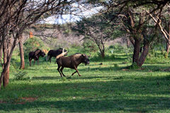 Black wildebeest. African wildlife, Namibia Royalty Free Stock Photo