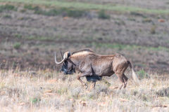 Black wildebeest, also called a white-tailed gnu Royalty Free Stock Image