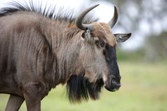 Black Wildebeest Antelope Stock Photos