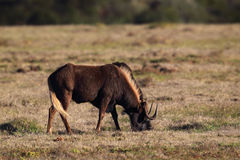 Black Wildebeest (Connochaetes gnou) Royalty Free Stock Images
