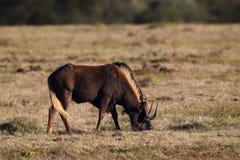 Black Wildebeest (Connochaetes gnou) Royalty Free Stock Images