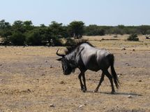 Black Wildebeest in Etosha Park Royalty Free Stock Image