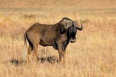 Black wildebeest in grassland - South Africa stock photography
