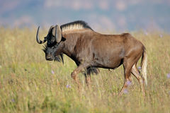 Black wildebeest in grassland Royalty Free Stock Photos