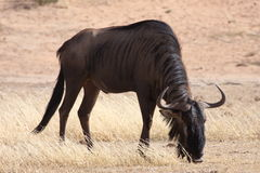 Black Wildebeest Grazing Stock Image