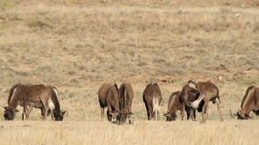 Black wildebeest grazing Royalty Free Stock Image