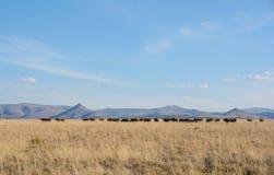 Black Wildebeest herd Royalty Free Stock Images