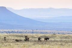 Black Wildebeest herd in grassland stock images