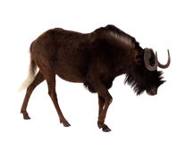 Black wildebeest. Isolated over white Stock Photos