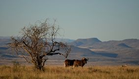 Black Wildebeest, Mountain Zebra National Park, South Africa Royalty Free Stock Photography