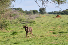 The black wildebeest, Namibia Royalty Free Stock Image