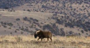 Black wildebeest in natural habitat stock footage