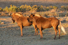Black wildebeest Royalty Free Stock Photography