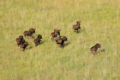 Black wildebeest running Royalty Free Stock Images