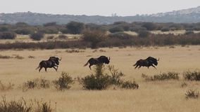 Black wildebeest running on the grass plains of the kalahari in south africa