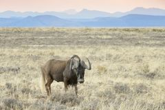 Black Wildebeest standing  in grassland royalty free stock images