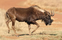 Black wildebeest, or white-tailed gnu, Connochaetes gnou at Riet Stock Photography