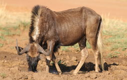 Black wildebeest, or white-tailed gnu, Connochaetes gnou at Riet Royalty Free Stock Image