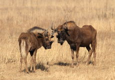 Black wildebeest, or white-tailed gnu, Connochaetes gnou at Riet Royalty Free Stock Photos