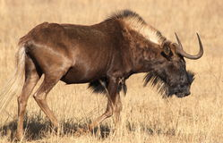 Black wildebeest, or white-tailed gnu, Connochaetes gnou at Riet Royalty Free Stock Photography