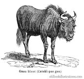 Black Wildebeest (Gnu) Royalty Free Stock Images