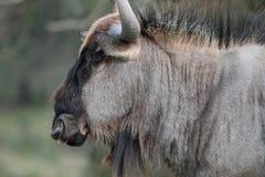 Black Wilderbeest Portrait Royalty Free Stock Photos