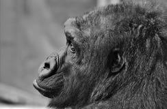 Black, Wildlife, Great Ape, Black And White Stock Photos