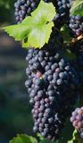 Black wine grapes Royalty Free Stock Images