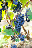 Black wine grapes in the vineyard Royalty Free Stock Photography