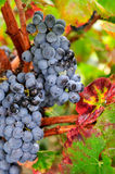 Black wine grapes in the vineyard Stock Photo