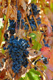 Black wine grapes in the vineyard Stock Photography