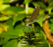 Black wing damselfly Royalty Free Stock Images