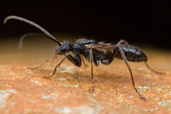 Black winged ant Stock Photography