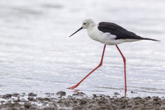 Black-winged (Common) Stilt, Walking. The Black-winged Stilt is a medium sized bird, 15 (38cm), very slender and elegant in appearance. A black and white (pied) Royalty Free Stock Images