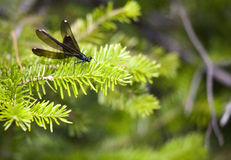 Black-Winged Damselfly (Calopteryx maculata). A single black-winged damselfly spreads its wings while resting on a pine tree branch Royalty Free Stock Image