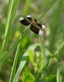 Black winged dragonfly Royalty Free Stock Images
