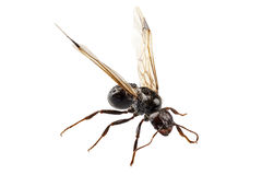 Black Winged garden ant species niger lasius Stock Photography