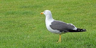 Black winged gull Stock Image