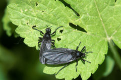 Black winged insect Royalty Free Stock Images