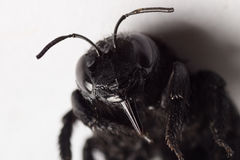Black winged insect Royalty Free Stock Photography