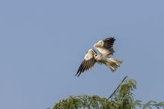 Black Winged Kite in flight Stock Photo