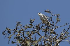 Black-winged kite sitting on top of a tree with a sunny day. Black-winged kite sitting on top of a tree with a sunny hot day Stock Images