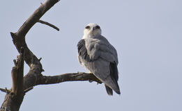 Black Winged Kite on the Tree Royalty Free Stock Images