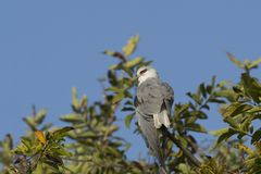 Black-Winged Kite on Treetop royalty free stock image